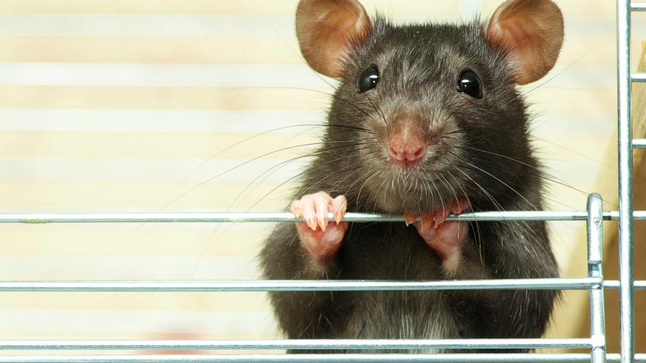kietelgebied-in-hersenen-van-ratten-ontdekt.jpg