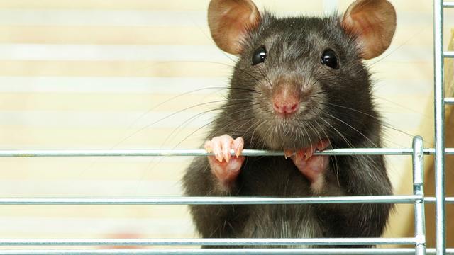 'Beperkte beweegruimte ratten van invloed op gezondheid dieren'