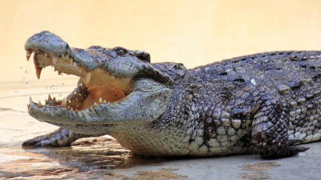 Tiener aangevallen door krokodil na uitgelokte sprong in rivier
