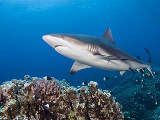 Systeem komt van pas bij onderzoek naar reisgedrag van haaien