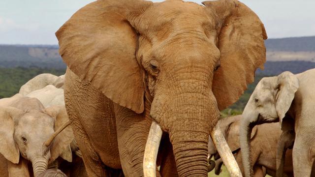 Hoe stoppen we de massamoord op olifanten?
