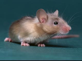 Nederlandse Voedsel- en Warenautoriteit ontdekte muizensporen