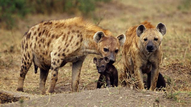 Hyenapup in dierentuin Amersfoort overleden