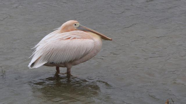 Inbreker veroorzaakt dood roze pelikaan en steelt eieren in Artis
