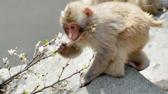 Wetenschappers reconstrueren waarnemingen van aap