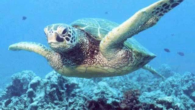 Groene zeeschildpadden Florida en Mexico niet langer bedreigd