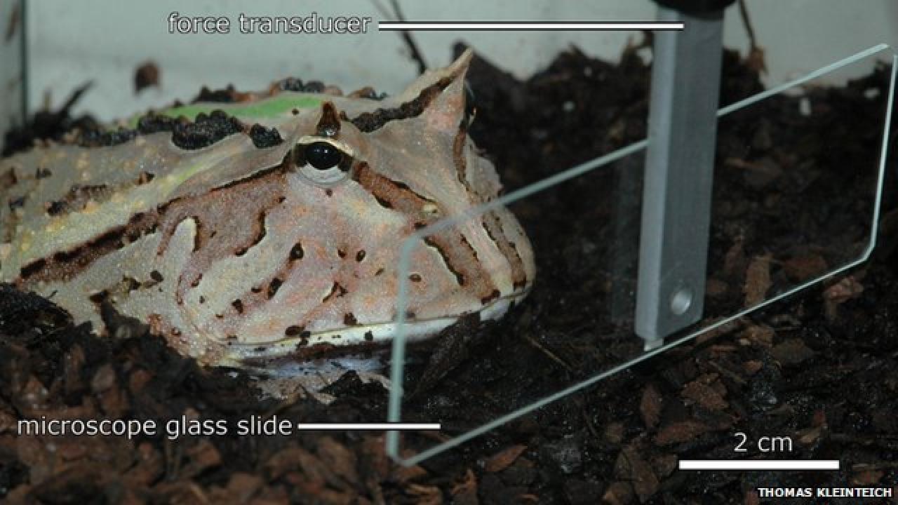 Hoornkikker tilt drie keer eigen lichaamsgewicht met tong