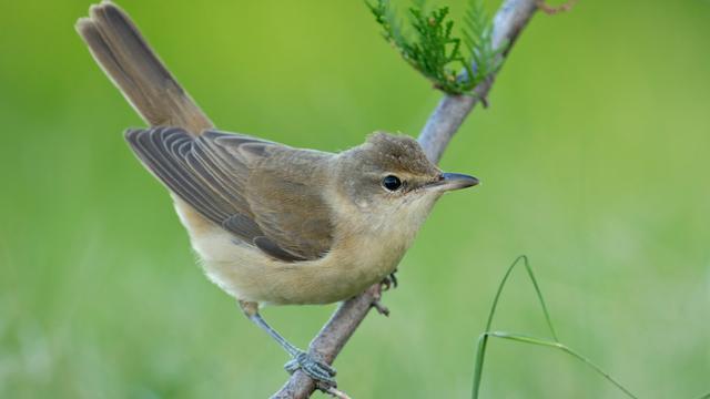 'Zangvogels repeteren liedjes tijdens overwinteren'
