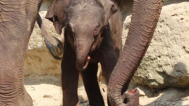 Babyolifant op komst in dierentuin Artis