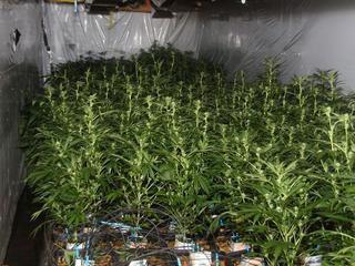 In de kwekerij stonden 504 hennepplanten