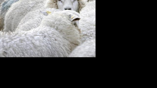 Twee schapendieven gepakt
