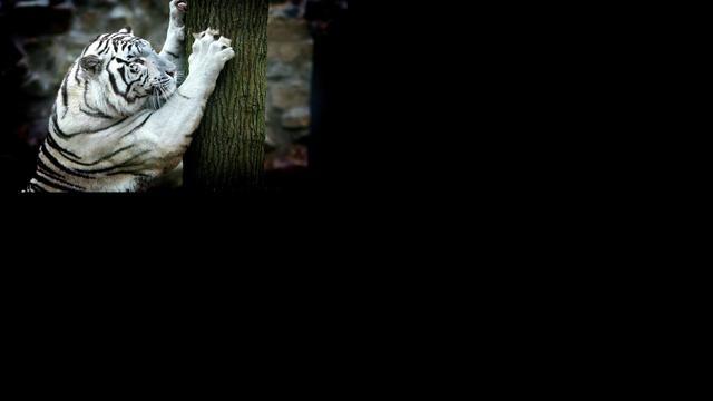 Witte tijger valt mensen aan