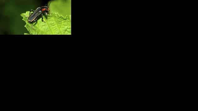 Kevers zijn extreem 'uitstervingsbestendig'