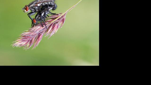 Vrouwtjesvlieg stoot ongewild sperma uit