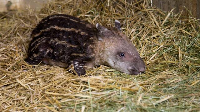 Twee tapirs geboren in Artis