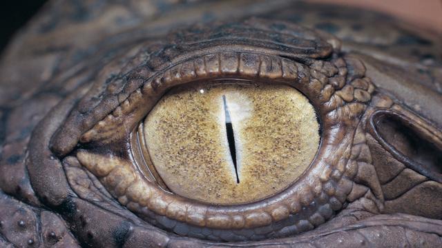 'Krokodillen hoeven kop niet te draaien door speciale ogen'