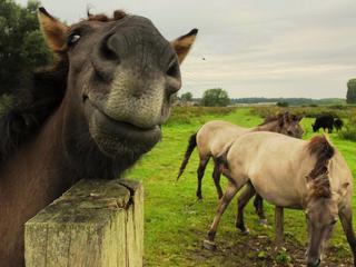 Konikpaarden aan de Grensmaas