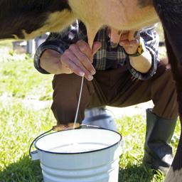 Italiaan wereldkampioen koeien melken met wereldrecord