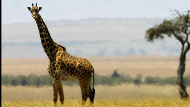 'Wetenschappers ontdekken bestaan van vier soorten giraffes'