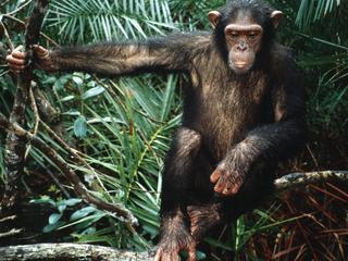 Plek waar ziekte als eerste oversprong van chimpansee tot mens bekend