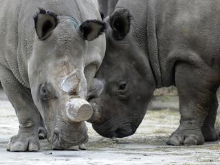 Zonder oplossing sterft de diersoort met zekerheid uit