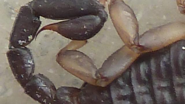 Familie 'schrok zich rot' na ontdekking schorpioen uit Bonaire