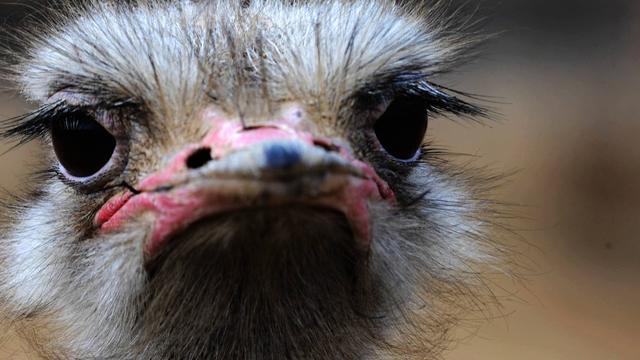 Eiwitten ontdekt in miljoenen jaren oude eierschaal van struisvogel