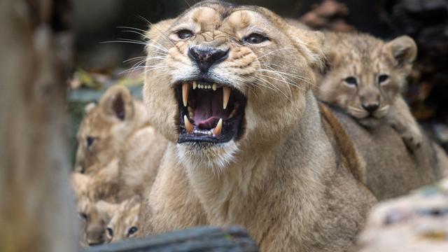 Leeuw doodt oppasser in kinderdierentuin Zuid-Korea