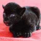 Zwart tijgertje heeft hond als moeder