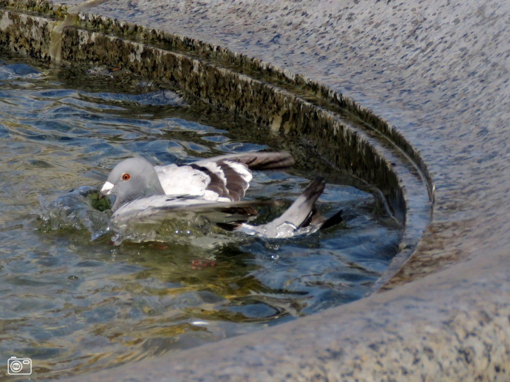 Duif neemt een bad in schinveld foto 538817 de laatste nieuwsfoto 39 s zie je het - Foto in een bad ...