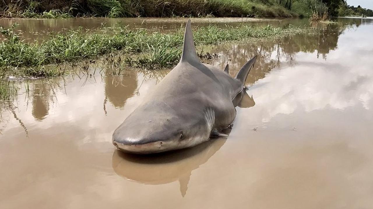 Stierhaai spoelt aan in Australisch dorp door overstromingen