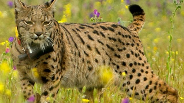Aantal Iberische lynxen in Spanje en Portugal verdrievoudigd