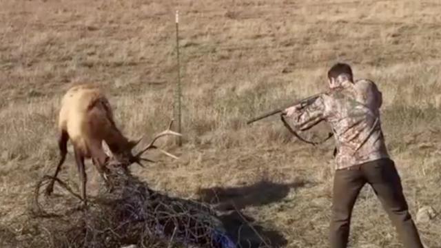 Jager redt vastzittende elk door op vangnet te schieten