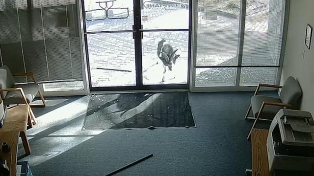 Geit sloopt glazen deuren van kantoorpand in Colorado