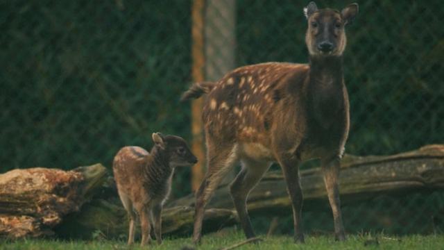 Zeldzaam pasgeboren hertje in Engeland voor het eerst te zien