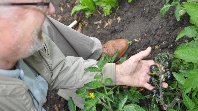 Bij toeval zwarte tomaten gekweekt in Etten-Leur