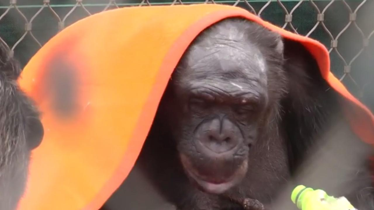 Chimpansee's van Stichting AAP dolblij met nieuwe dekens