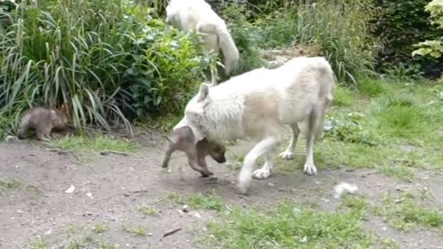 Pasgeboren wolfjes laten zich voor het eerst zien in Artis