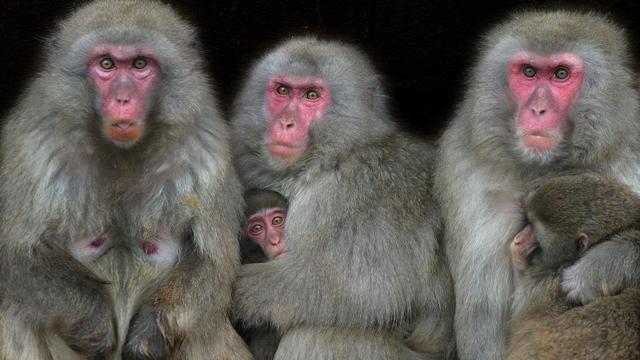 Japanse dierentuin maakt 57 apen af om inheemse soort te beschermen