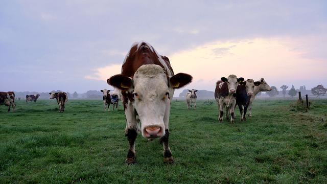 Nederlandse melkveestapel moet inkrimpen vanwege milieu-afspraken