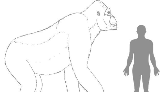 'Grootste apensoort ooit stierf uit door kieskeurig dieet'