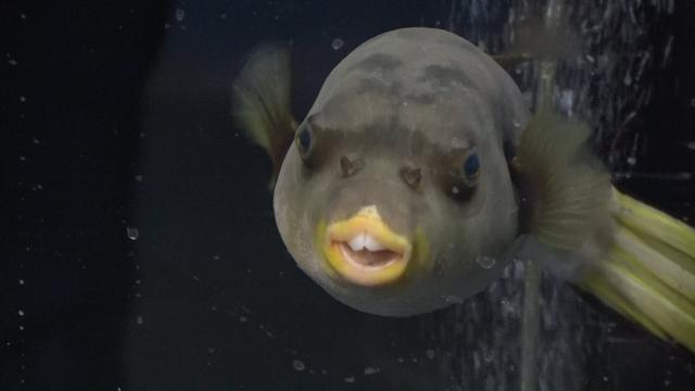 Zo verhuist Burgers' Zoo 37 bijzondere zeedieren