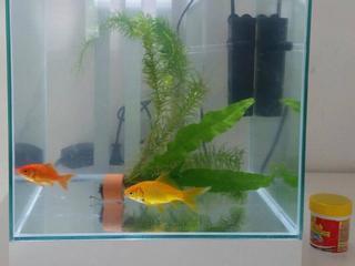 De goudvissen waren bijna dood toen ze werden gevonden