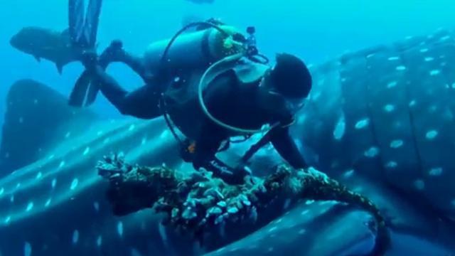 Duiker bevrijdt walvishaai van visserstouw