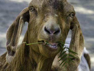 Dier at niet alleen illegaal gras, maar ook bloemen en groenten