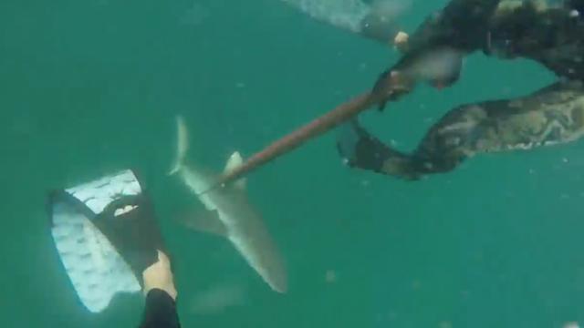 Haai pakt vangst van Australische vissers af