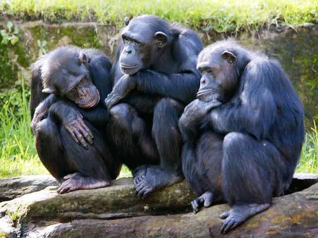Ivoorkust organiseert congres om laatste chimpansees te redden