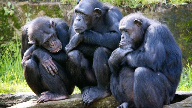 Chimpansees herkennen elkaar direct door achterwerk