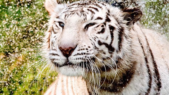 Twee witte tijgers Ouwehands Dierenpark overleden