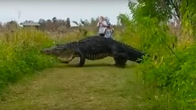 Gigantische alligator gespot in natuurpark Florida